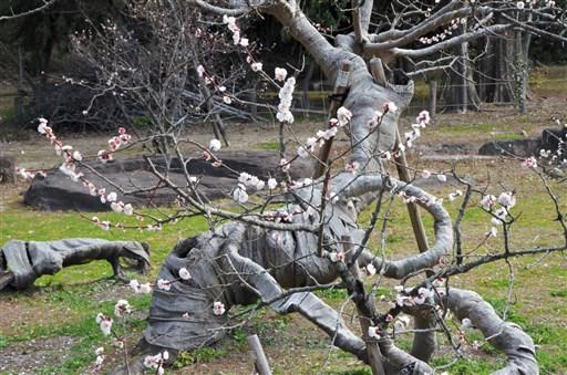臥龍梅、清楚な薄紅色 樹勢衰えるも開花 熊本県八代市の松井神社 | 熊本日日新聞社
